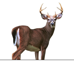 Whitetail Buck Contest